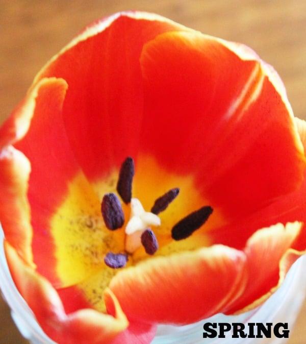1 red orange and yellow tulip