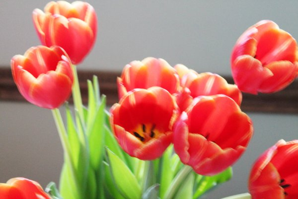 red orange tulips
