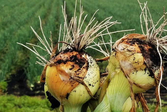 Onions from Michigan