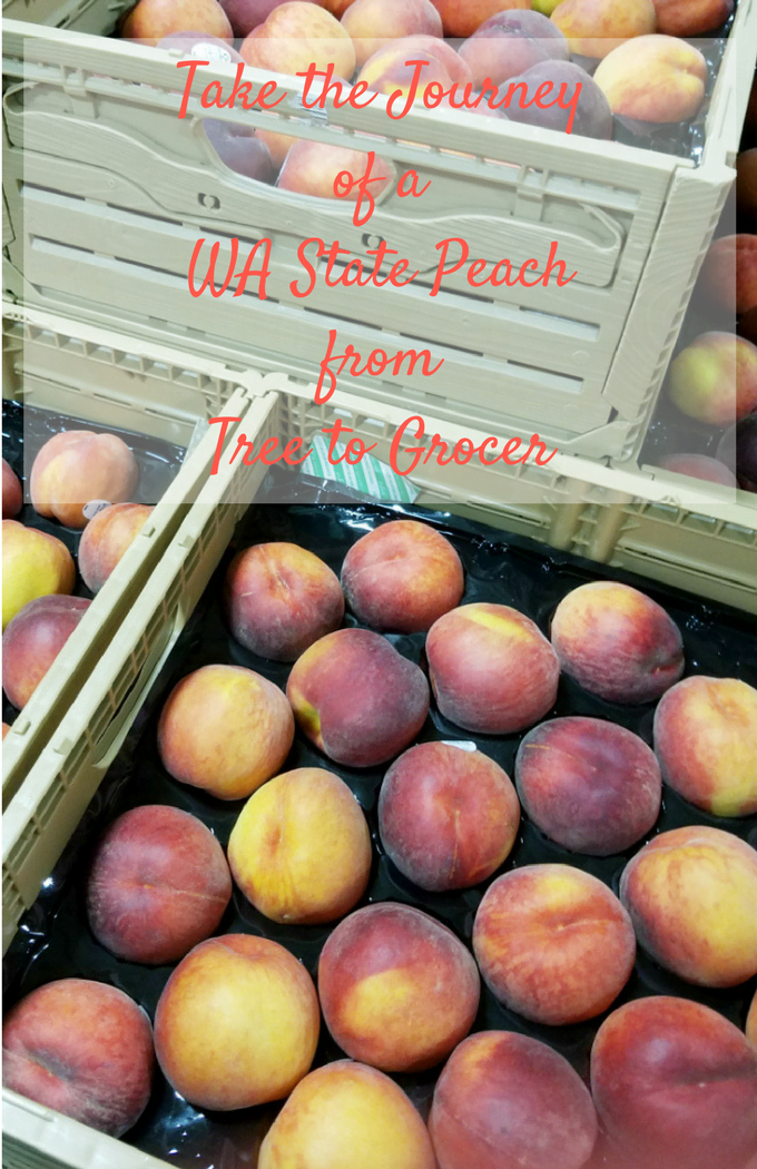 Journey of WA State Peach from Tree to Store