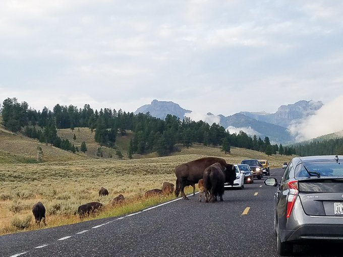 Yellowstone National Park Bison in Road