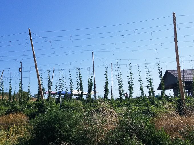 Hops growing at Cowiche Creek Brewing Company